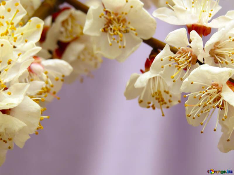 Фруктовое дерево цветет №30027