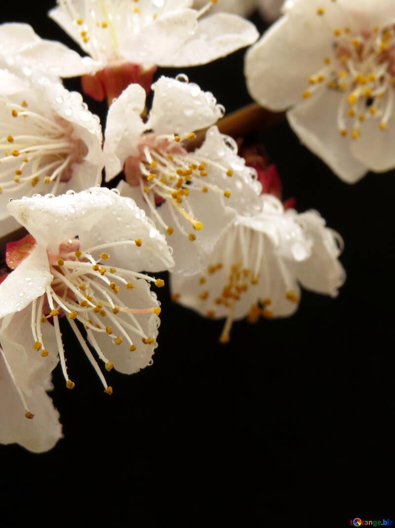 Цветущее дерево макро №30023