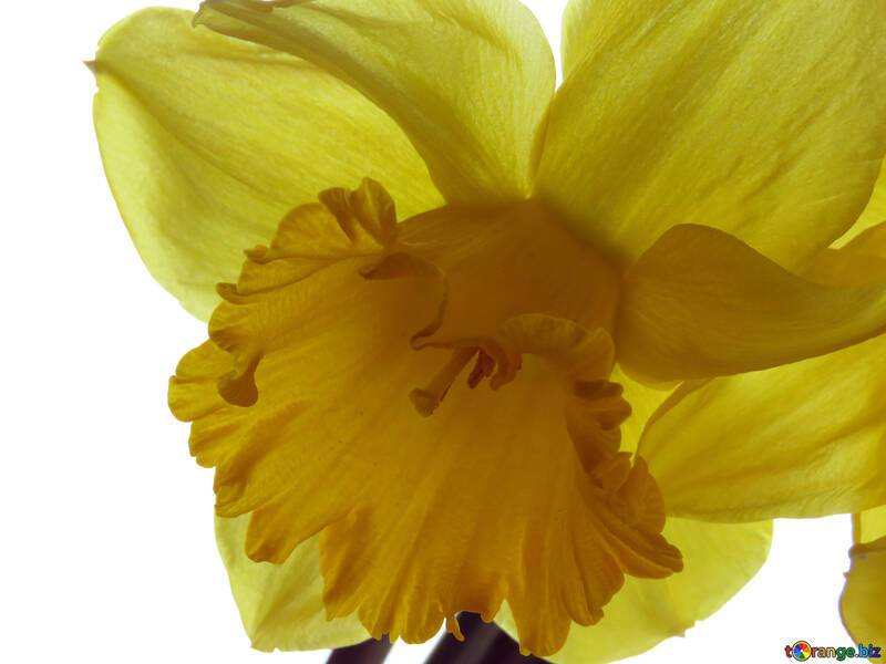 Background with Daffodil №30920