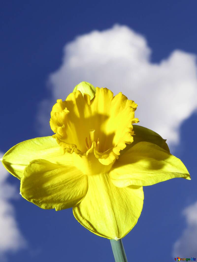Narcissus №30948