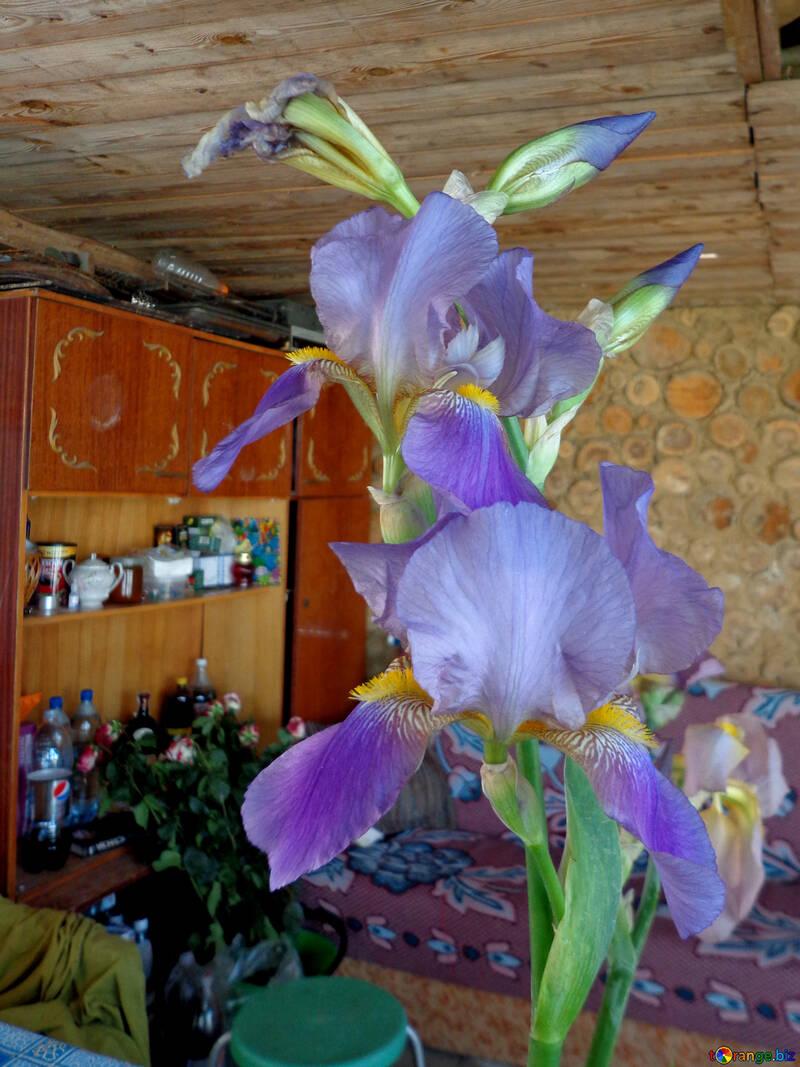Flor de Iris con el trasfondo de muebles rústicos №30812