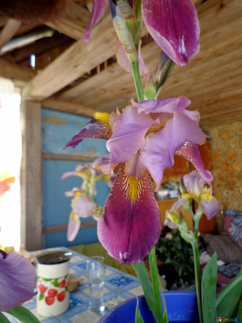 在農村內部虹膜的花 №30814