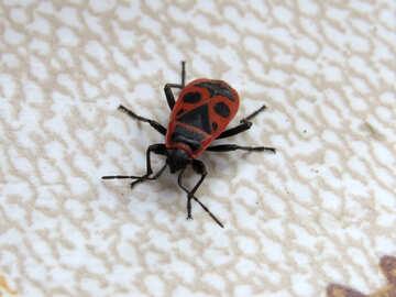 Beetle Firebug №31628