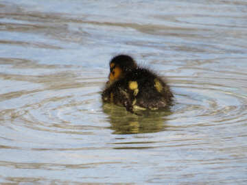 Downy duckling №31377