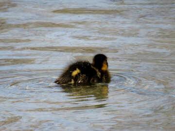 Duckling №31376