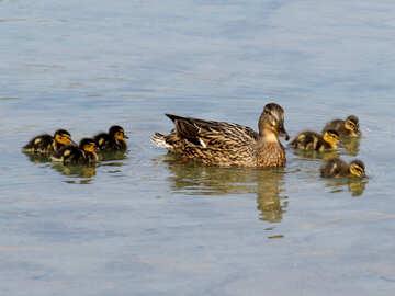 Duck №31368