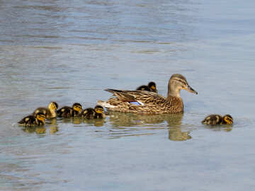 Duck with children №31372