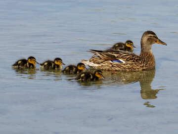 Wild ducks №31369