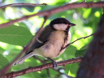 Great tit bird №31642