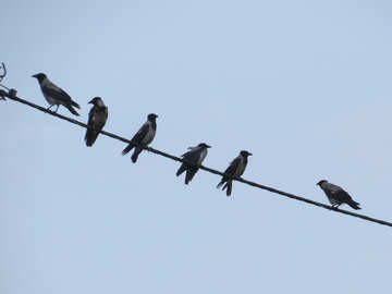 Crows on wire №31647