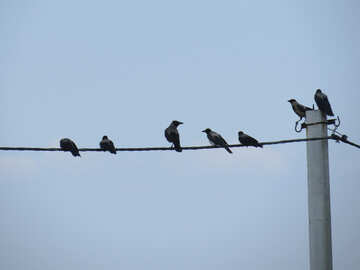 Crows on the wires №31648