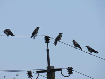 The Ravens on pole and wires №31649