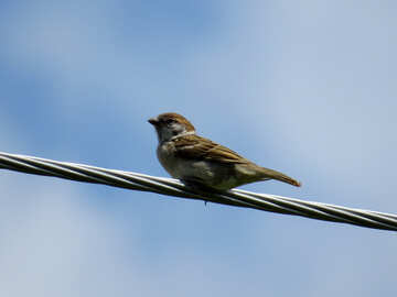 The Sparrow sitting on wire №31657