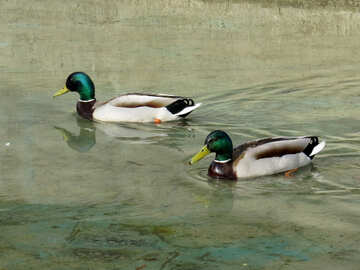 Duck №31395