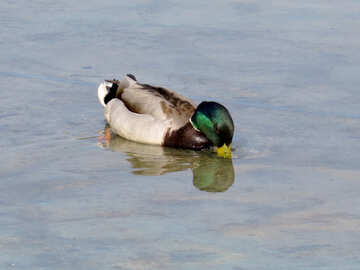 Duck drinking water №31355
