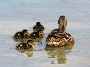 Duck family №31364