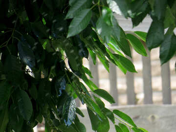 The green leaves of tree №31452