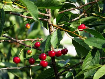 Cherry №31046
