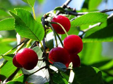 Cherry №31453