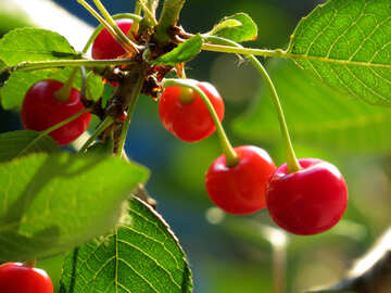 Cherry №31462