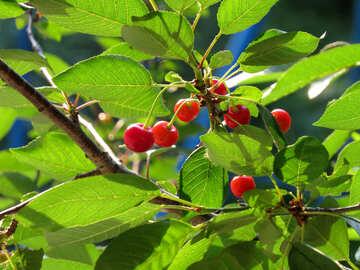 Cherry №31463