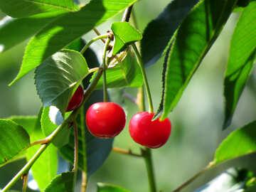Ripe cherry №31458