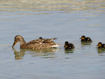 Duck with ducklings №31361