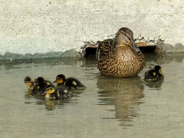 Duck with ducklings №31390