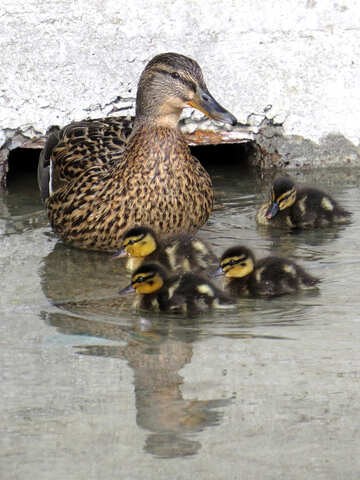 Duck with ducklings №31392