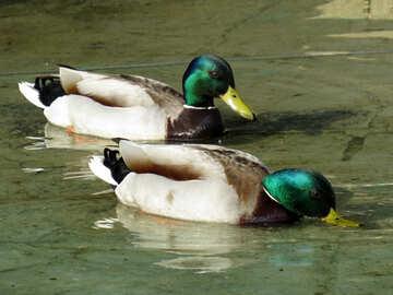 Zwei Enten №31385