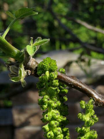 Flowering walnut tree №31442