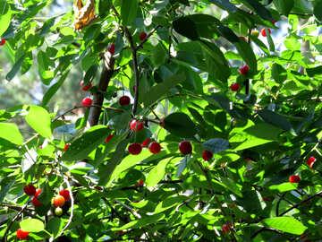 Cherries on tree №31455