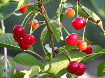 Lots of cherries №31471