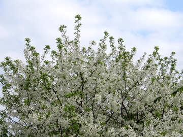 Albero in fiore №31190