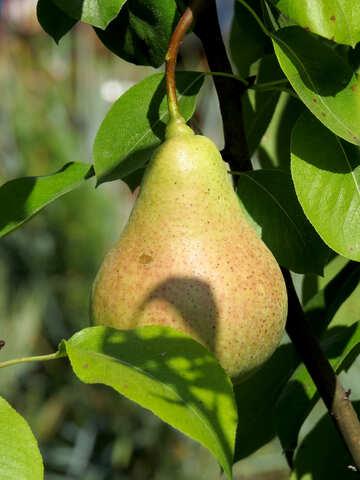 Fruit pears hanging on tree №31064