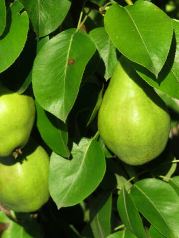 PEAR fruit №31049