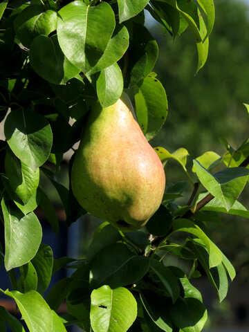 Pear tree hanging №31059