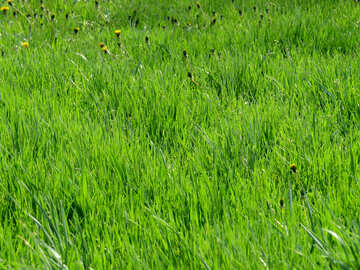 Lawn grass №31125