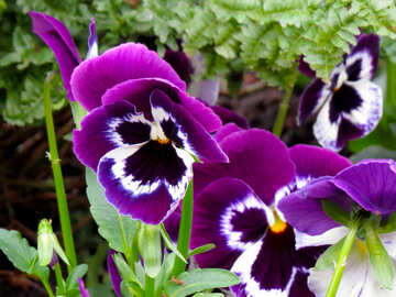 Pansy №31343