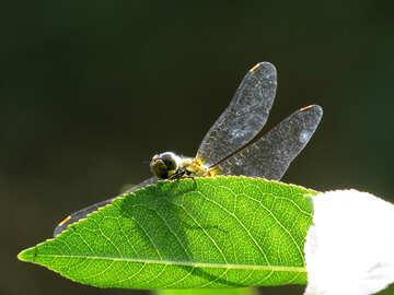 Dragonfly №31422