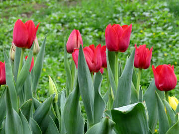 Red tulips in may №31335