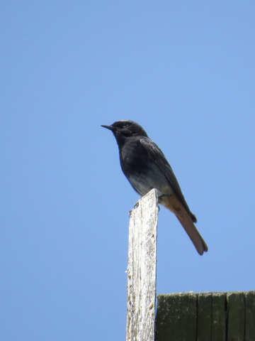 Black Redstart №31651