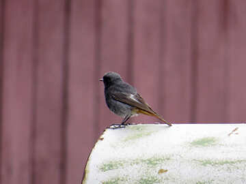 Bird with an orange tail №31660