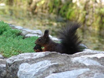 Dark squirrel №31712
