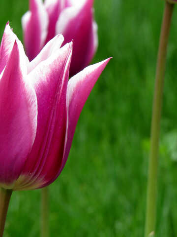 Tulip background for congratulations №31151