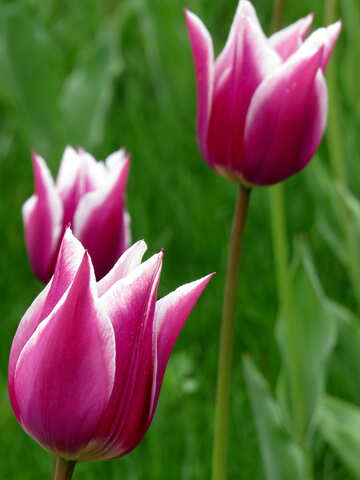Beautiful Tulip №31152
