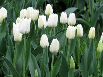 White Tulip №31275