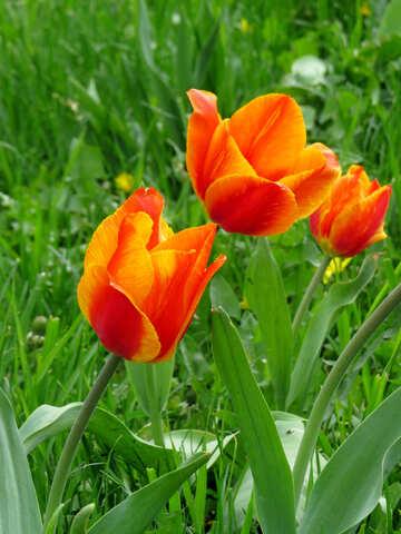 Fiery Tulip №31198