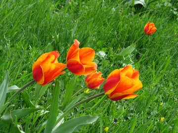 Orange red Tulip №31195