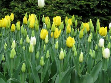 Delicate flower of Tulip №31281